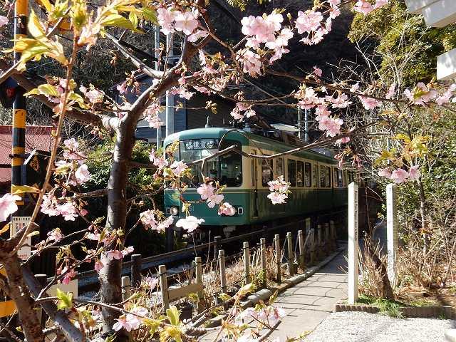 2月初旬に咲く、河津桜と江ノ電