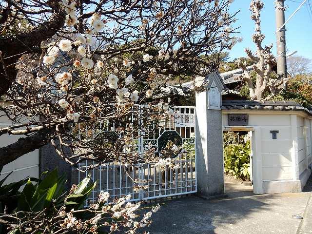 英勝寺通用門前梅の木