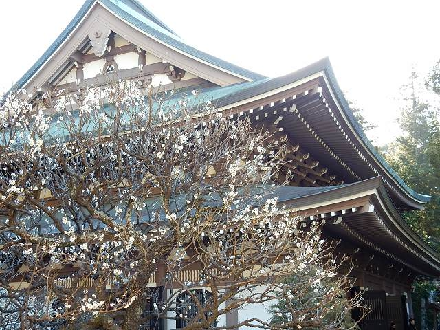 ウメと円覚寺