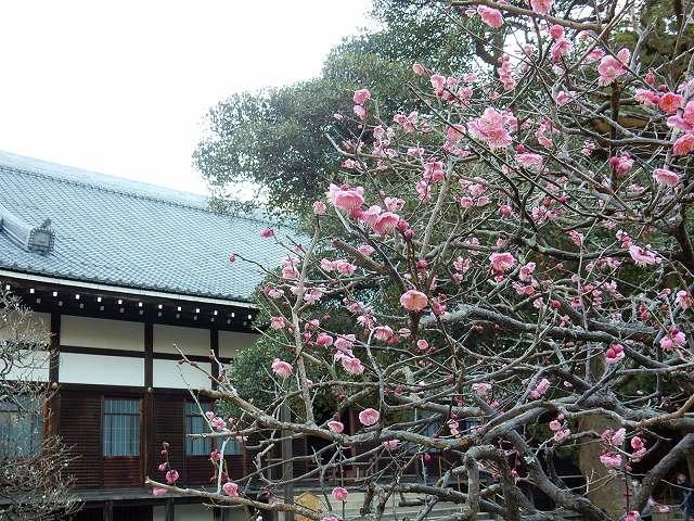ウメと花と円覚寺